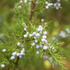 Usage of Juniper Berry